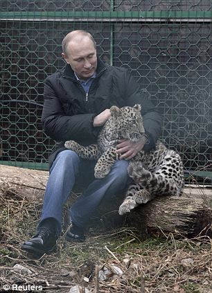 14.2.4 return of Vladimir Putin to political power (Persian Leopard Tuesday rehabilitation park near Sochi)_306x423